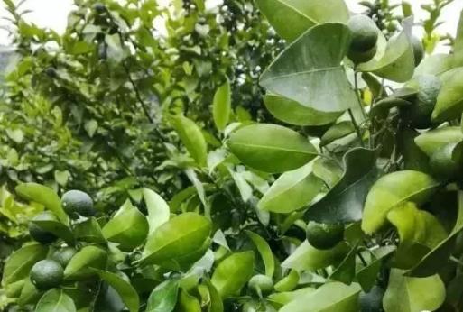 掌握放夏秋梢的正确方法,让柑橘丰产增收!