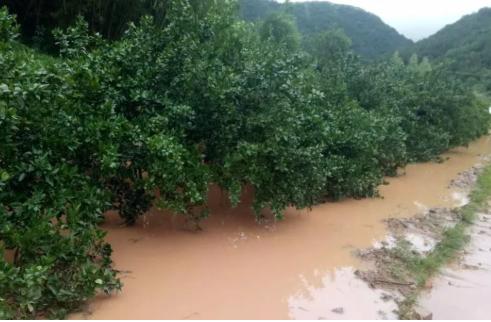 柑橘洪涝危害及解救措施