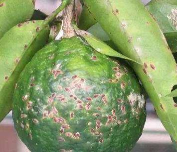 柑橘介壳虫怎么防治