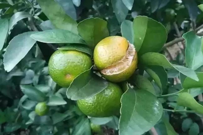柑橘裂果如何防控