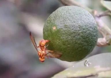 柑橘未熟先黄、落果,果实蝇危害不容小觑!