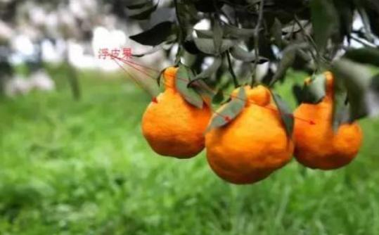 柑橘浮皮果如何防治?