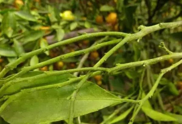 柑橘青苔病怎么防治