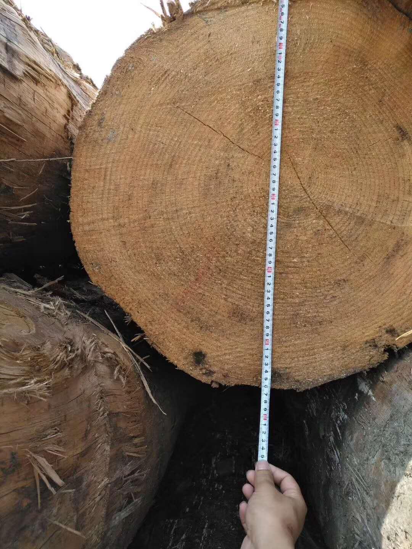 輻射松原木