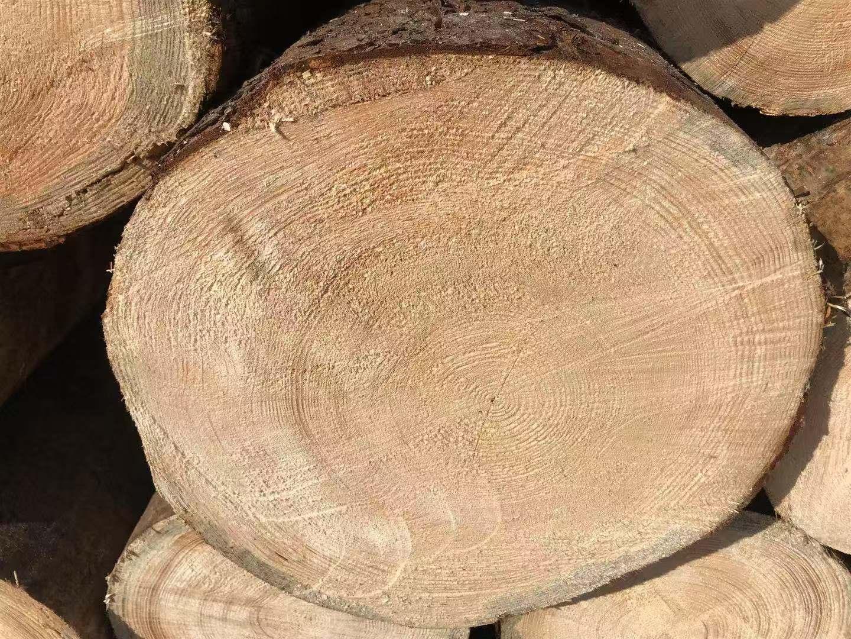 铁杉建筑原木等待加工