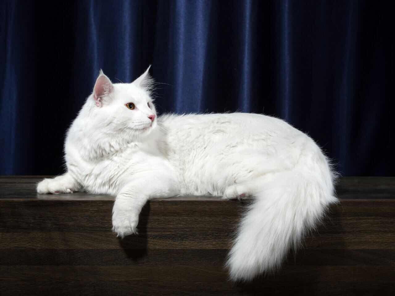 挪威森林猫的...