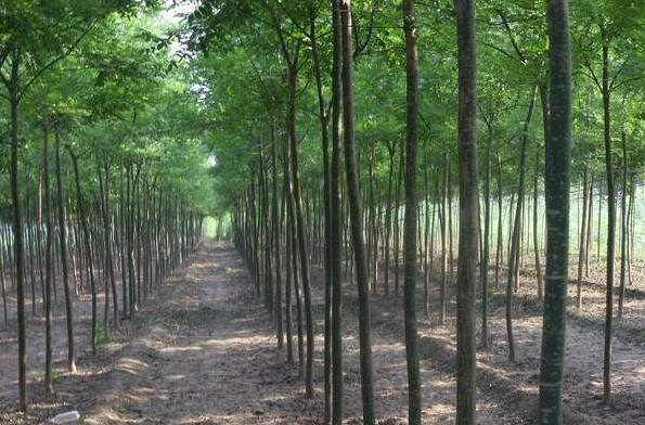 华夏园林速生国槐