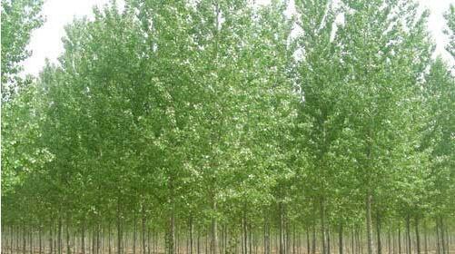 怎样正确种植白蜡苗