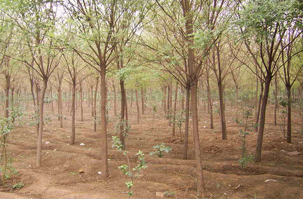 冬季苗木怎么养护管理?