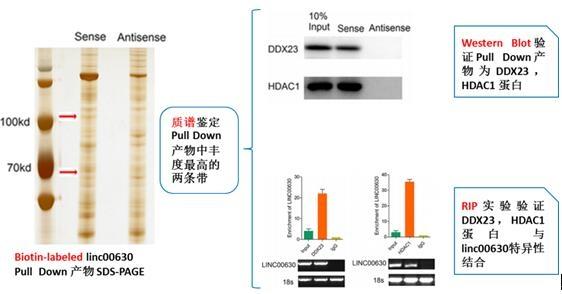 长链非编码RNA-Linc00630表达验证及功能表征