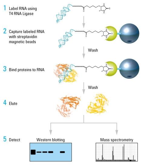 云序RNA pull down实验流程