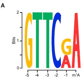 m1A甲基化位点motif分析