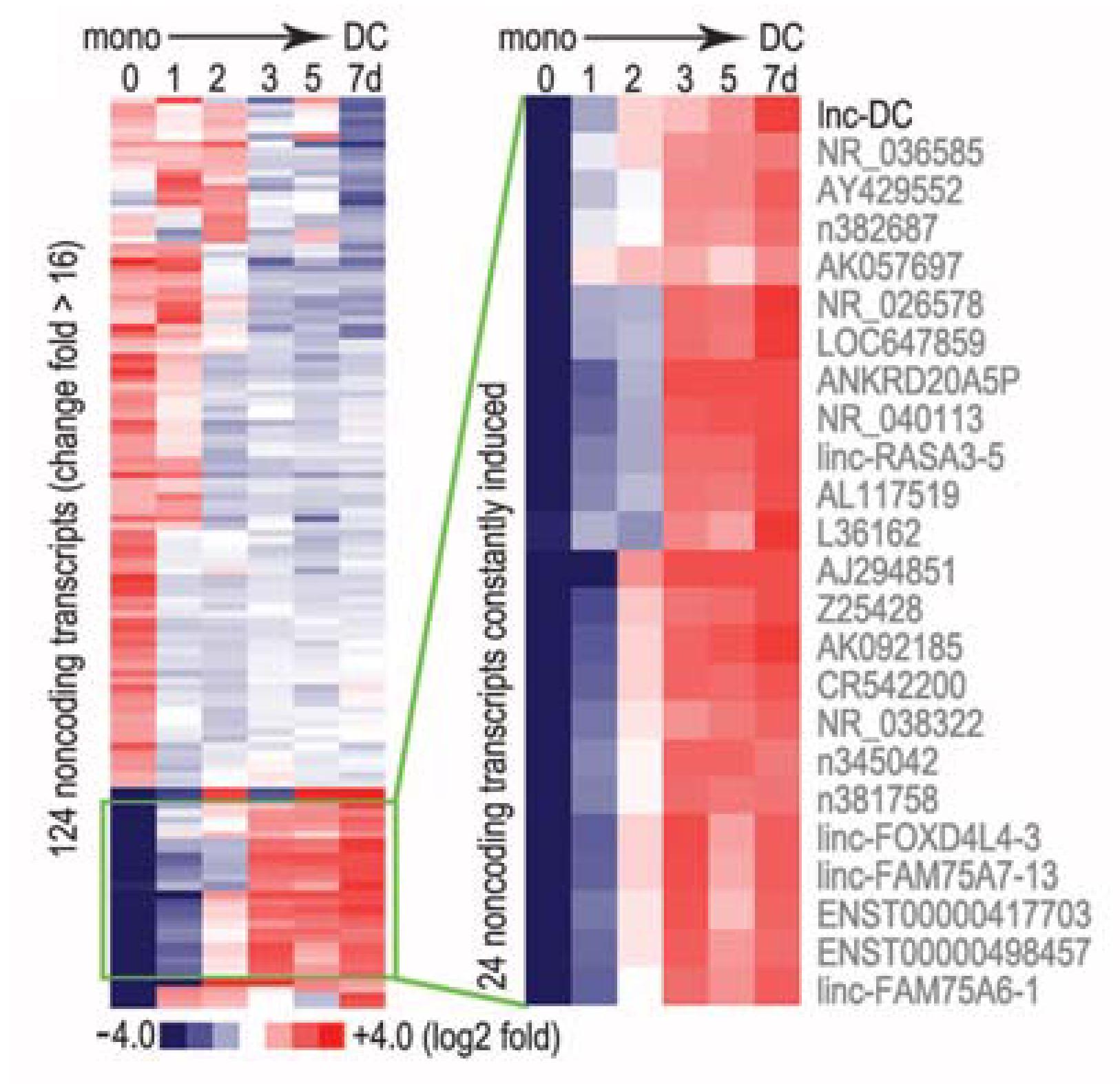 通过LncRNA测序筛选树突细胞分化的特异LncRNA