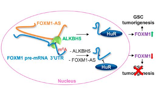 ALKBH5和FOXM1-AS可与FOXM1协同作用,促进恶性胶质瘤肿瘤形成
