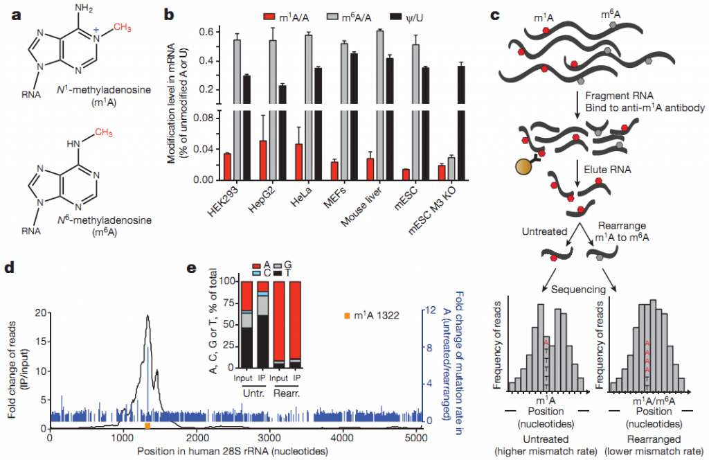 m1A RNA甲基化测序流程