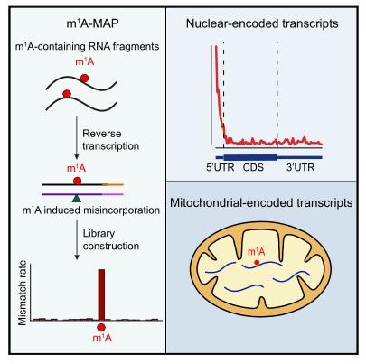 m1A-MAP揭示核编码和线粒体编码转录本上不同类型的m1A甲基化组