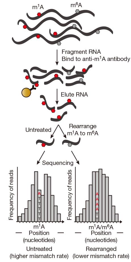 m1A RNA-seq实验流程