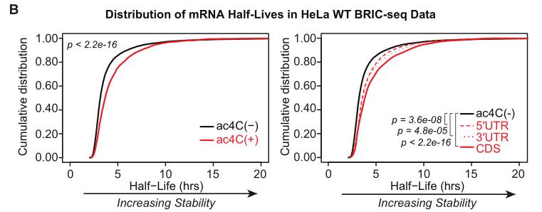 ac4C延长mRNA的半衰期,提高其稳定性