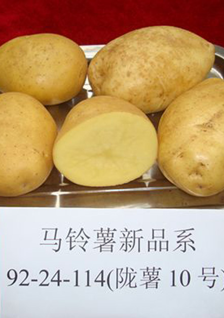 陇薯10号
