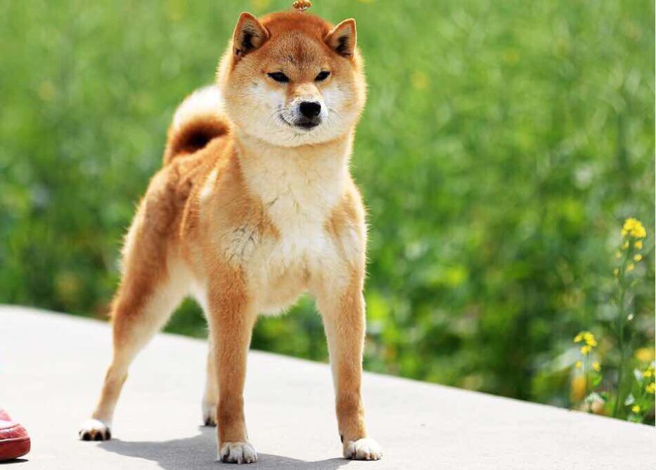 购买一只日本纯种柴犬需要多少钱?
