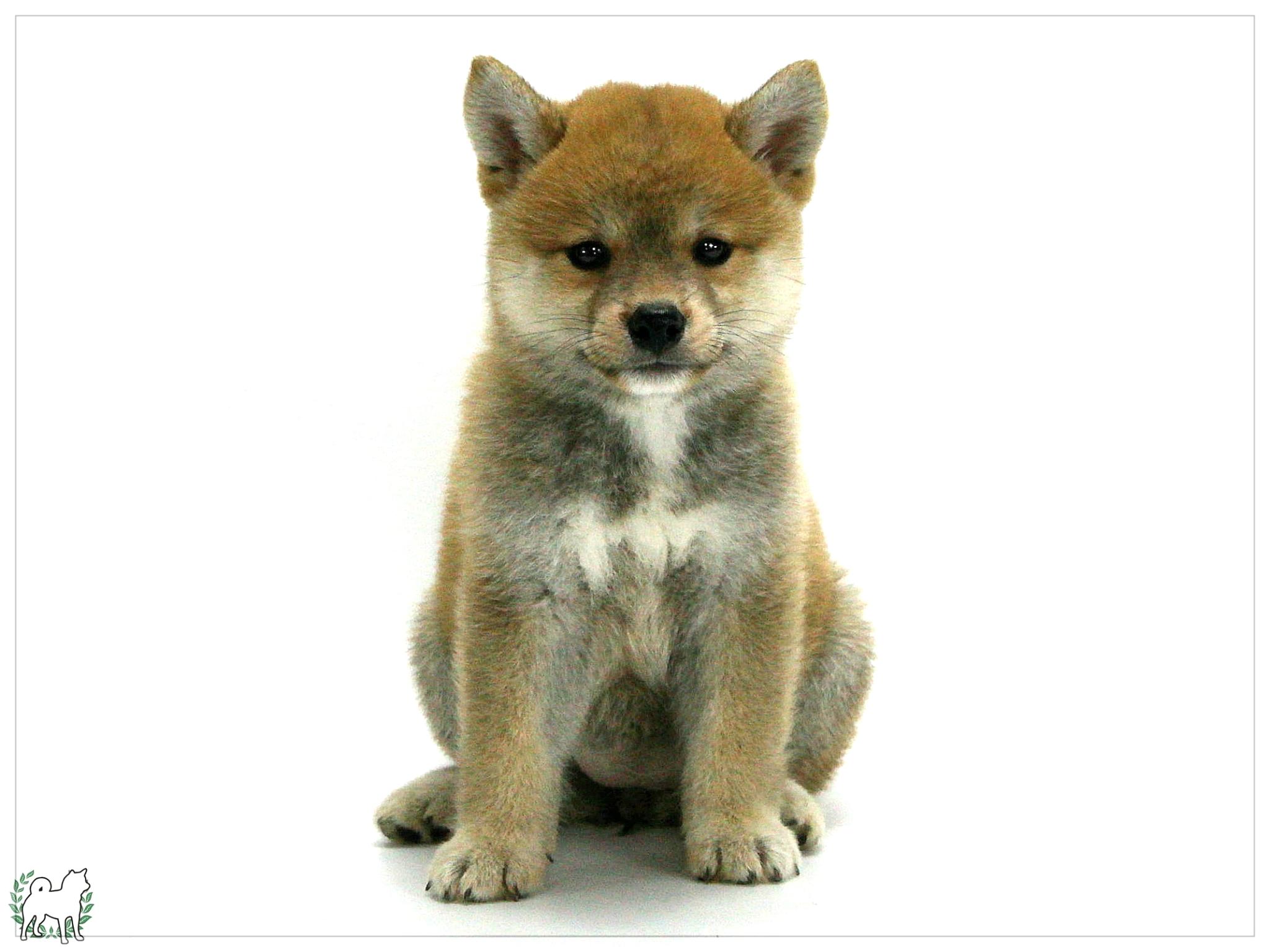 怎么喂养柴犬幼犬和成年犬-铲屎官必看