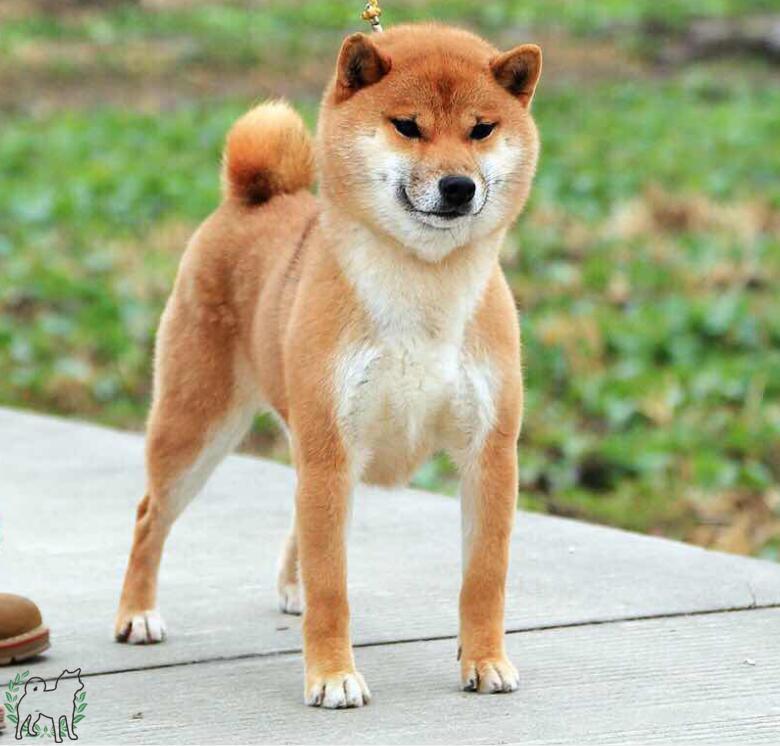 日本纯种柴犬怕冷么