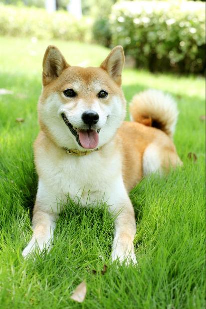 日本纯种柴犬