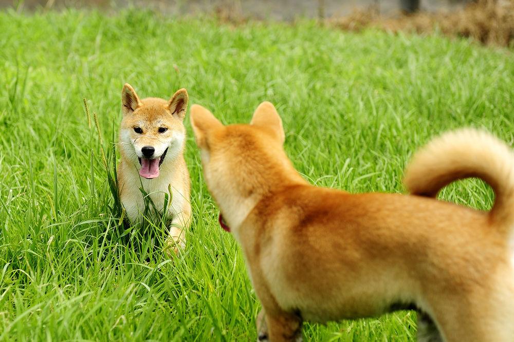 怎样让纯种柴犬舍柴犬非常乖巧的吃饭