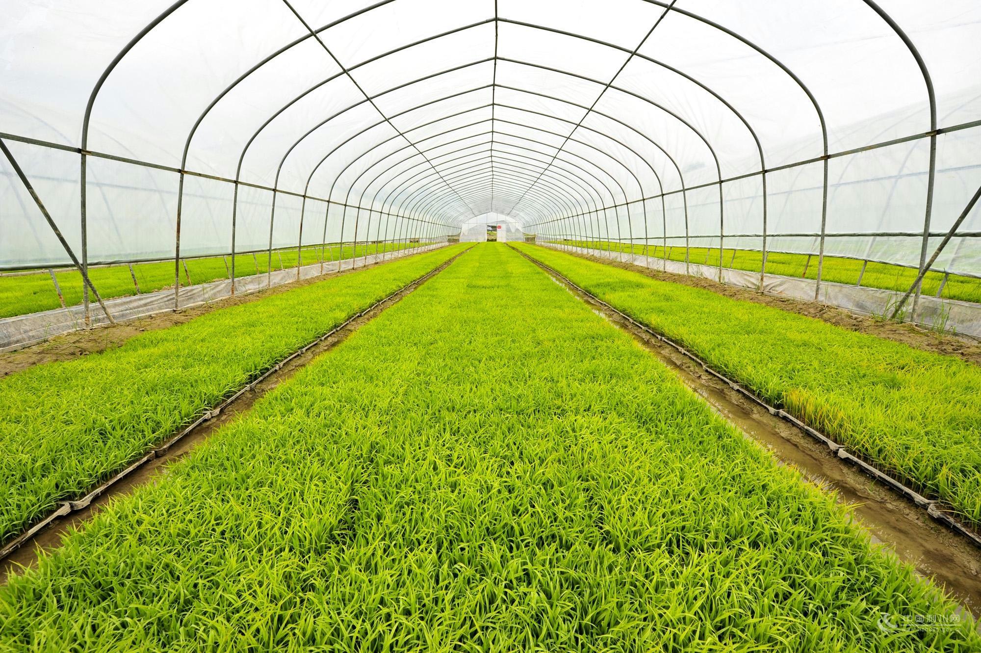 有机水稻育苗