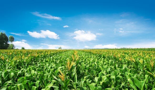 玉米种植基地