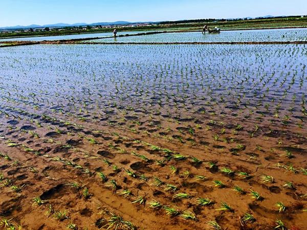 吉地嘉禾有机大米跟您展示水稻的生长环境