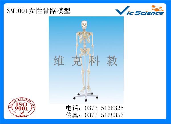 SMD001女性骨骼模型