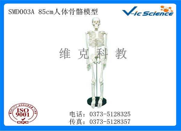 SMD003A 85cm人体骨骼模型