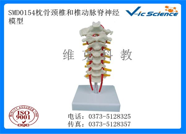 SMD0154枕骨颈椎和椎动脉脊神经模型