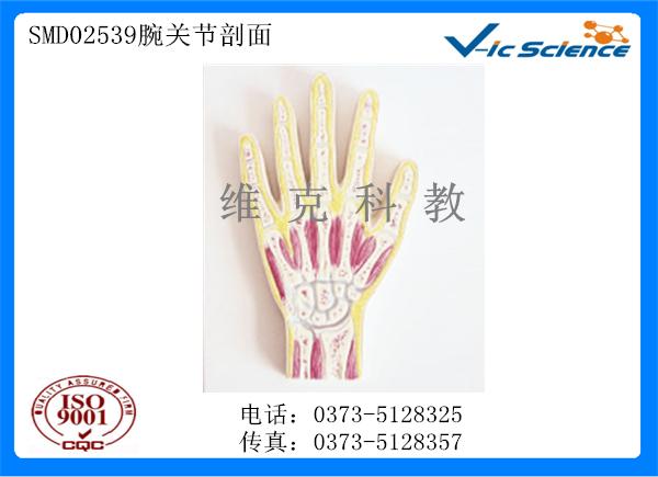 SMD02539腕关节剖面模型