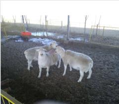 富川杜泊绵羊