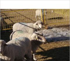 富川巴美肉羊