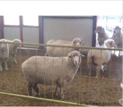 富川南非美利奴羊