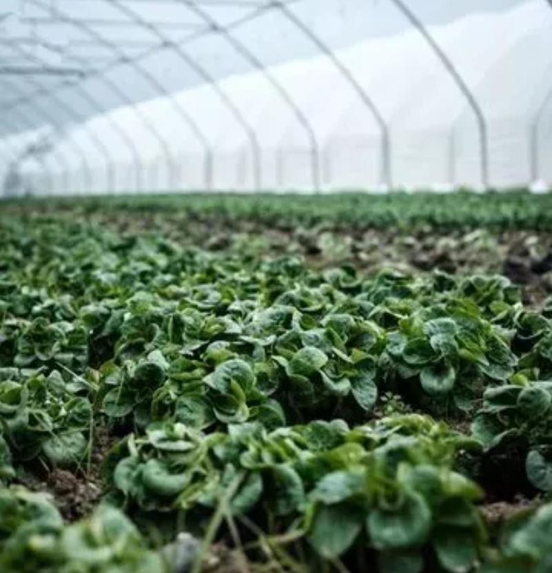 废水种植蔬菜