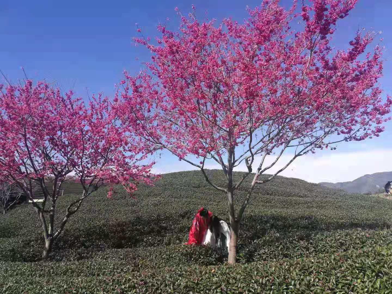 台灣山櫻花的那些栽種技術