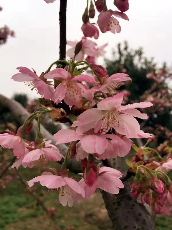 台灣山櫻花的屬性與特點