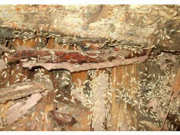 泉州白蚁防治公司防治白蚁的有效方法
