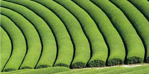 """有特色 多元化 科技感-日本茶产业""""三大特点"""""""