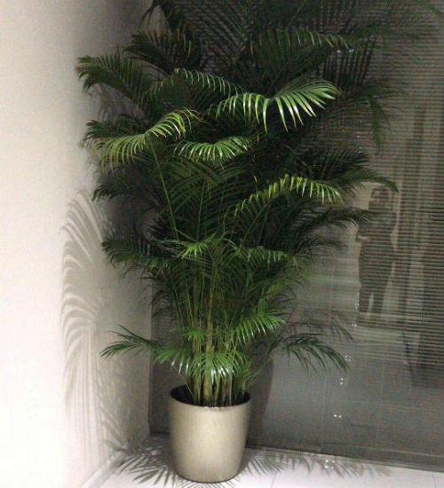 夏威夷竹盆栽