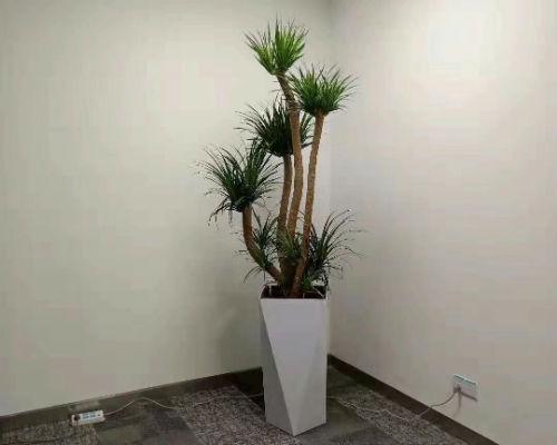 马尾铁盆栽