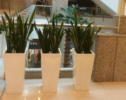 虎皮兰组合盆栽