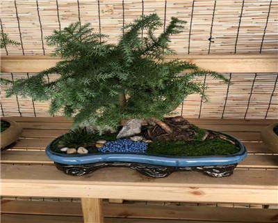 五针松艺术盆栽