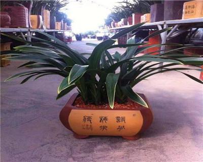 君子兰盆栽