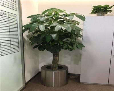单杆发财树盆栽