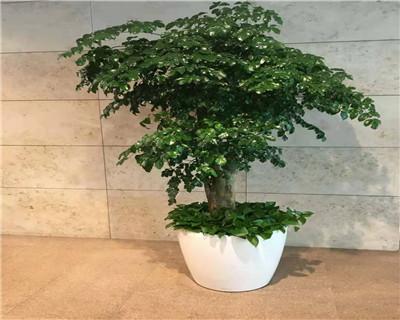 大型幸福树盆栽